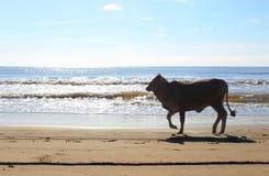 Vaca en la playa Imágenes de archivo libres de regalías