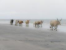 Vaca en la playa Imagen de archivo libre de regalías