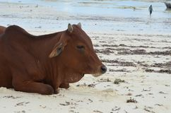 Vaca en la playa en la isla de Zanzíbar Foto de archivo