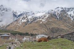 Vaca en la raíz de la montaña Kazbek Imágenes de archivo libres de regalías