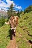 Vaca en la trayectoria alpina fotografía de archivo