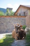 Vaca en las calles de Mestia, Georgia Foto de archivo libre de regalías