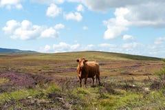 Vaca en las montañas Imágenes de archivo libres de regalías