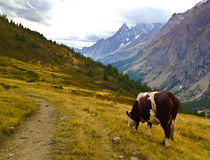 Vaca en las montañas imagen de archivo