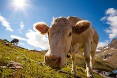 Vaca en las montañas Fotografía de archivo