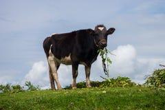 Vaca en las montañas Foto de archivo
