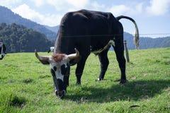 Vaca en las montañas colombianas Imagenes de archivo