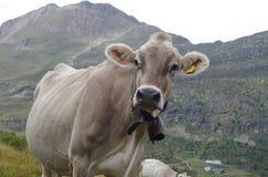 Vaca en las montañas de Europa Fotos de archivo