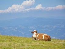 Vaca en las montañas de la naturaleza Imagen de archivo libre de regalías