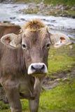 Vaca en las montañas europeas Imagenes de archivo