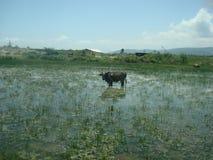 Vaca en las tierras de inundación imagen de archivo