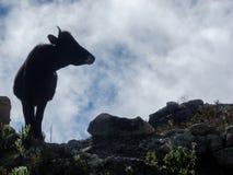 Vaca en los Andes Fotografía de archivo libre de regalías
