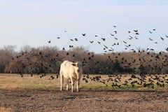 Vaca en los pájaros Imagen de archivo
