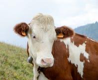 Vaca en los pastos de la montaña Fotografía de archivo libre de regalías
