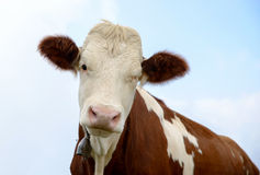 Vaca en los pastos de la montaña Imagen de archivo