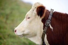 Vaca en los pastos de la montaña Fotografía de archivo