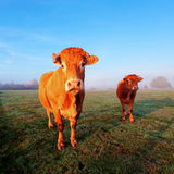 Vaca en luz del sol de la mañana Foto de archivo