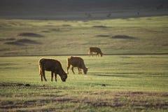 Vaca en Mongolia Foto de archivo libre de regalías