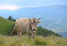 Vaca en naturaleza Imagen de archivo libre de regalías