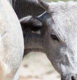 Vaca en naturaleza fotografía de archivo libre de regalías