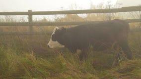 Vaca en niebla en pasto almacen de metraje de vídeo