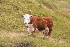 Vaca en Nueva Zelanda rural Imágenes de archivo libres de regalías