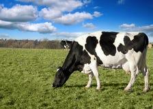 Vaca en pasto imagen de archivo libre de regalías