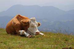 Vaca en pasto Imágenes de archivo libres de regalías