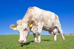 Vaca en pasto Fotos de archivo libres de regalías