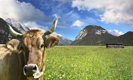 Vaca en pista de pasto Imagenes de archivo