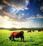 Vaca en prado Fotografía de archivo libre de regalías