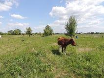 Vaca en prado Imagen de archivo