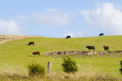 Vaca en prado en Australia Imagen de archivo libre de regalías