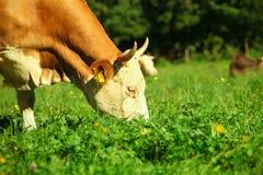Vaca en prado verde Fotos de archivo libres de regalías