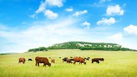 Vaca en prado verde. Fotos de archivo libres de regalías