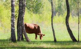 Vaca en prado verde Fotos de archivo