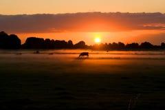 Vaca en puesta del sol Imagen de archivo libre de regalías