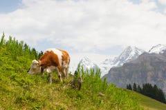 Vaca en Suiza Fotos de archivo libres de regalías