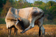Vaca en Tailandia Imágenes de archivo libres de regalías