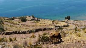 Vaca en Taquile Imagen de archivo