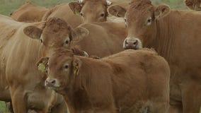 Vaca en tierras de labrantío almacen de video