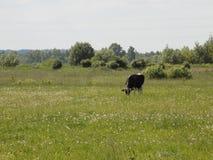 Vaca en un campo Fotos de archivo