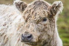 Vaca en un campo Imagenes de archivo
