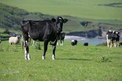 Vaca en un campo Fotos de archivo libres de regalías
