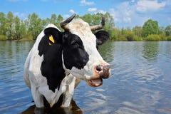 Vaca en un lugar de riego Fotos de archivo