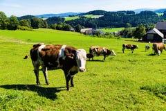 Vaca en un pasto Fotos de archivo