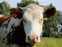 Vaca en un pasto del verano Fotografía de archivo libre de regalías