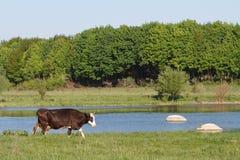 vaca en un pasto del verano cerca del río Foto de archivo libre de regalías