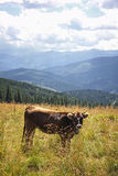 Vaca en un pasto en montañas cárpatas, Ucrania Imagen de archivo
