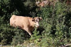 Vaca en un prado fotografía de archivo